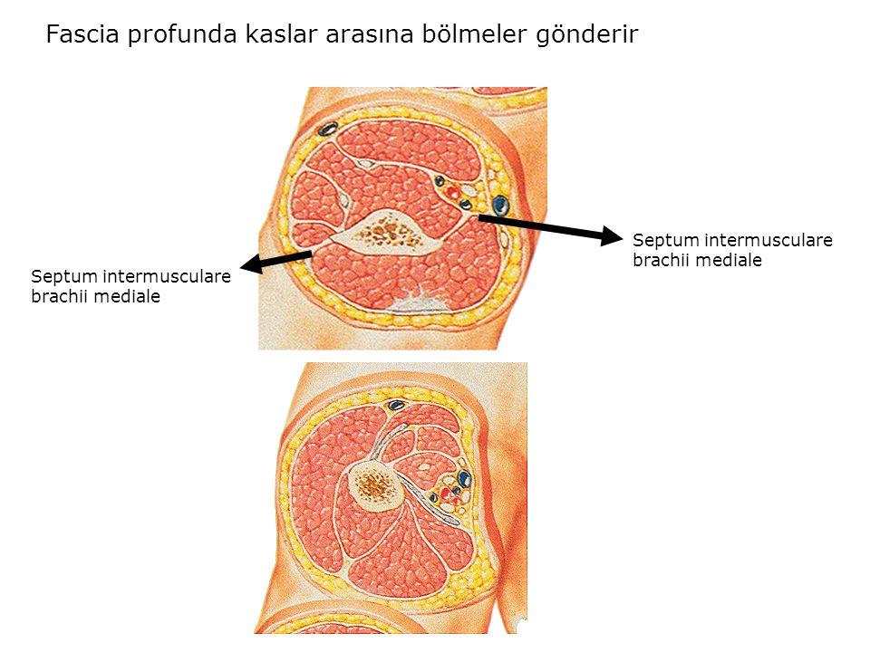 Fascia profunda kaslar arasına bölmeler gönderir Septum intermusculare brachii mediale Septum intermusculare brachii mediale
