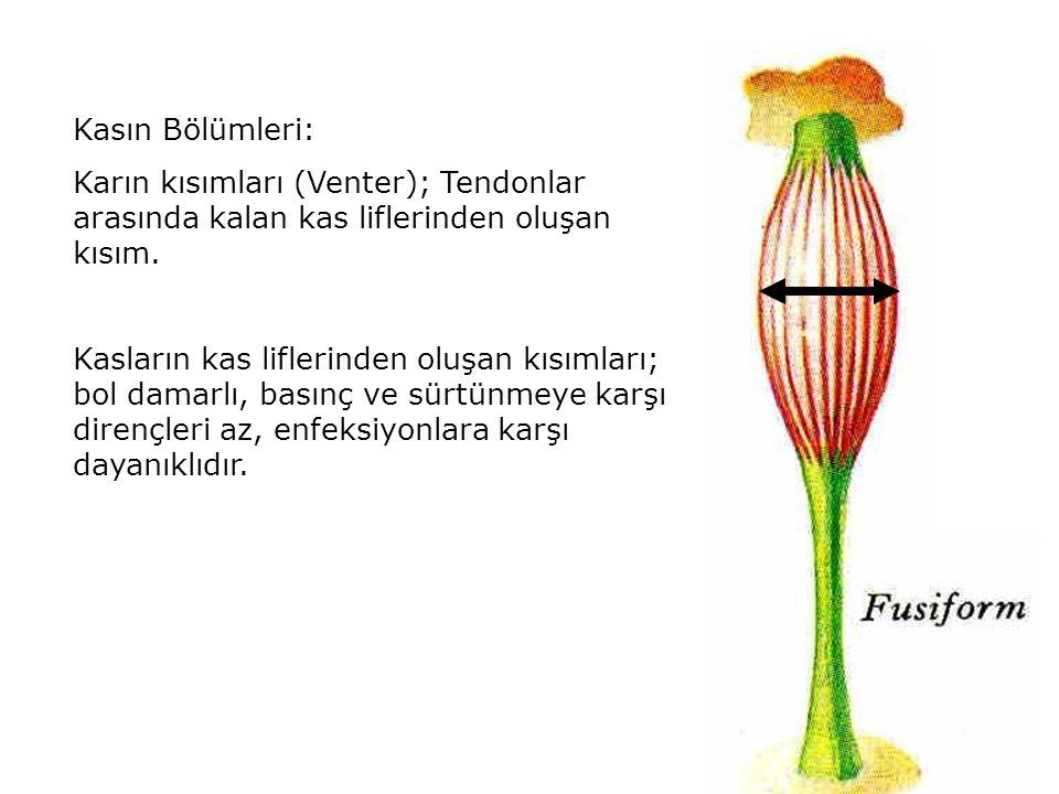 Kasın Bölümleri: Karın kısımları (Venter); Tendonlar arasında kalan kas liflerinden oluşan kısım. Kasların kas liflerinden oluşan kısımları; bol damar