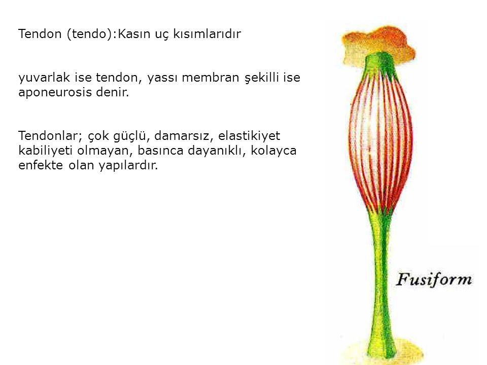 Tendon (tendo):Kasın uç kısımlarıdır yuvarlak ise tendon, yassı membran şekilli ise aponeurosis denir. Tendonlar; çok güçlü, damarsız, elastikiyet kab