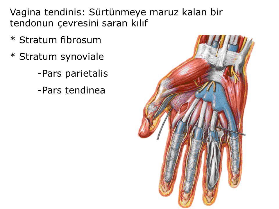Vagina tendinis: Sürtünmeye maruz kalan bir tendonun çevresini saran kılıf * Stratum fibrosum * Stratum synoviale -Pars parietalis -Pars tendinea