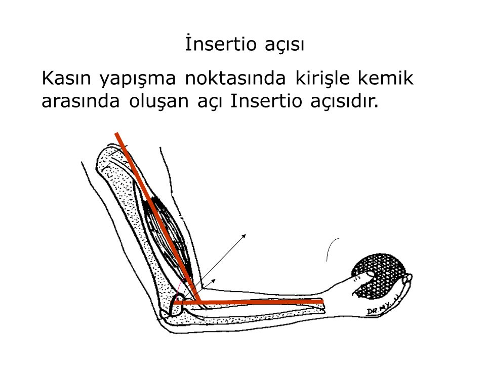 İnsertio açısı Kasın yapışma noktasında kirişle kemik arasında oluşan açı Insertio açısıdır.