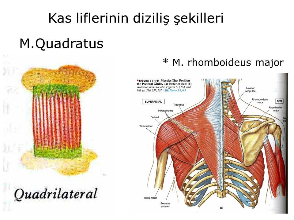 Kas liflerinin diziliş şekilleri M.Quadratus * M. rhomboideus major
