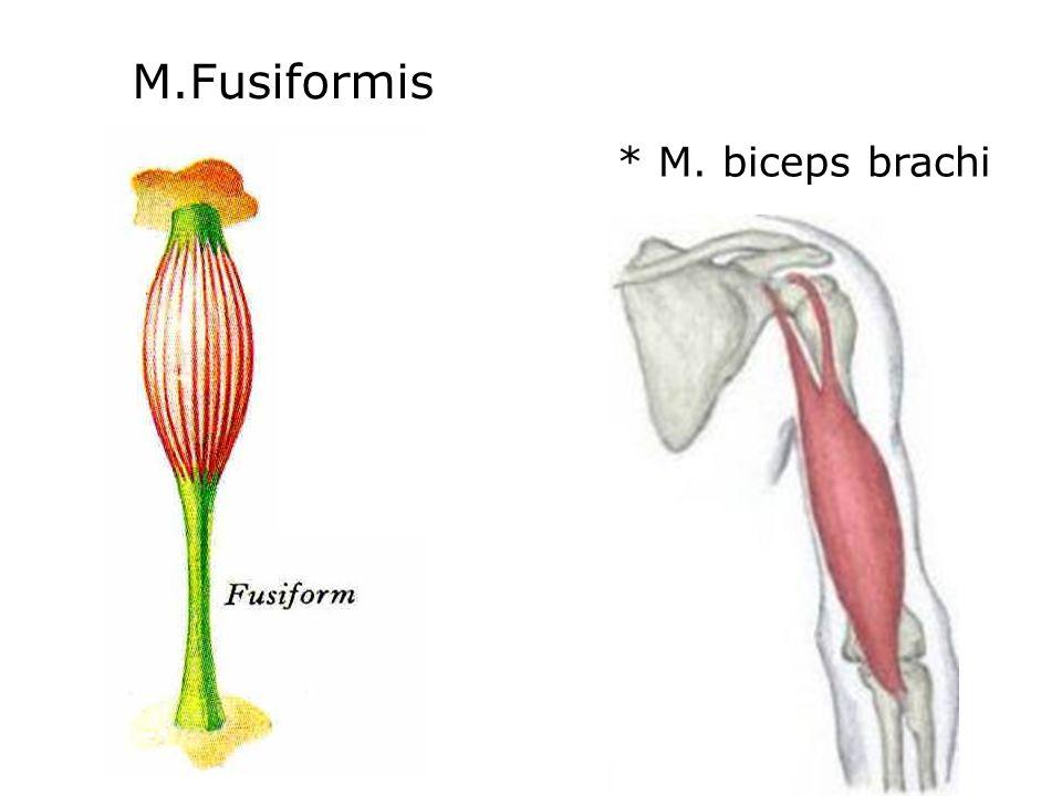 M.Fusiformis * M. biceps brachi