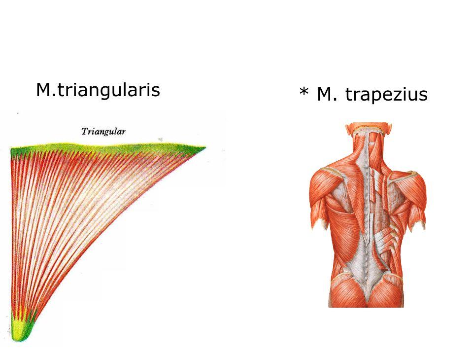 M.triangularis * M. trapezius