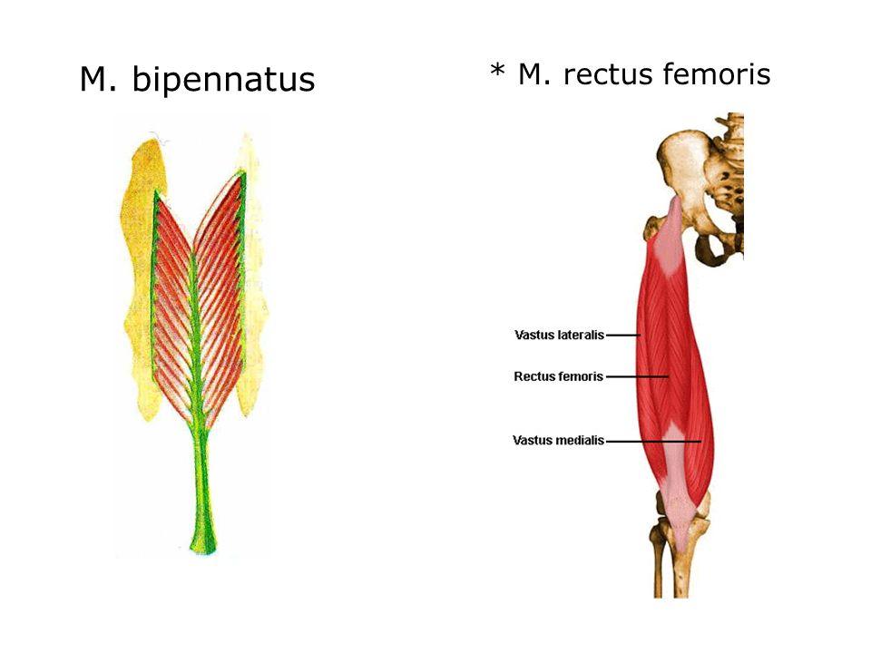 M. bipennatus * M. rectus femoris