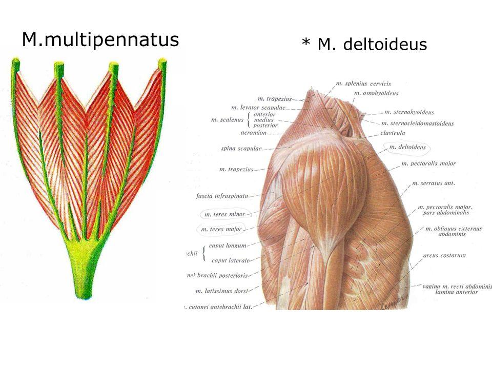 * M. deltoideus M.multipennatus