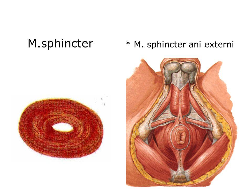 M.sphincter * M. sphincter ani externi