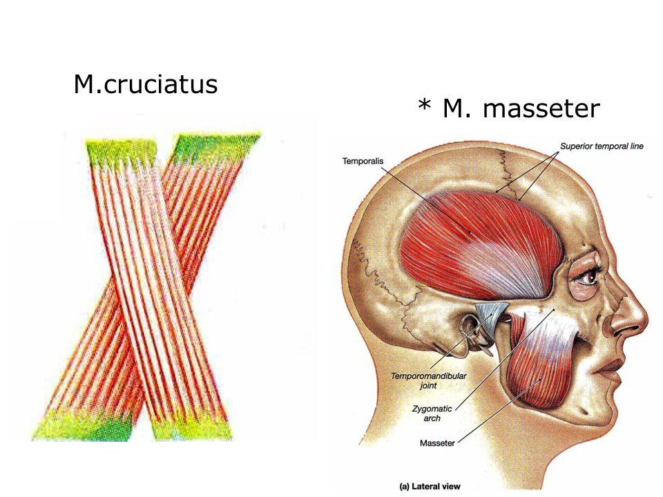 M.cruciatus * M. masseter