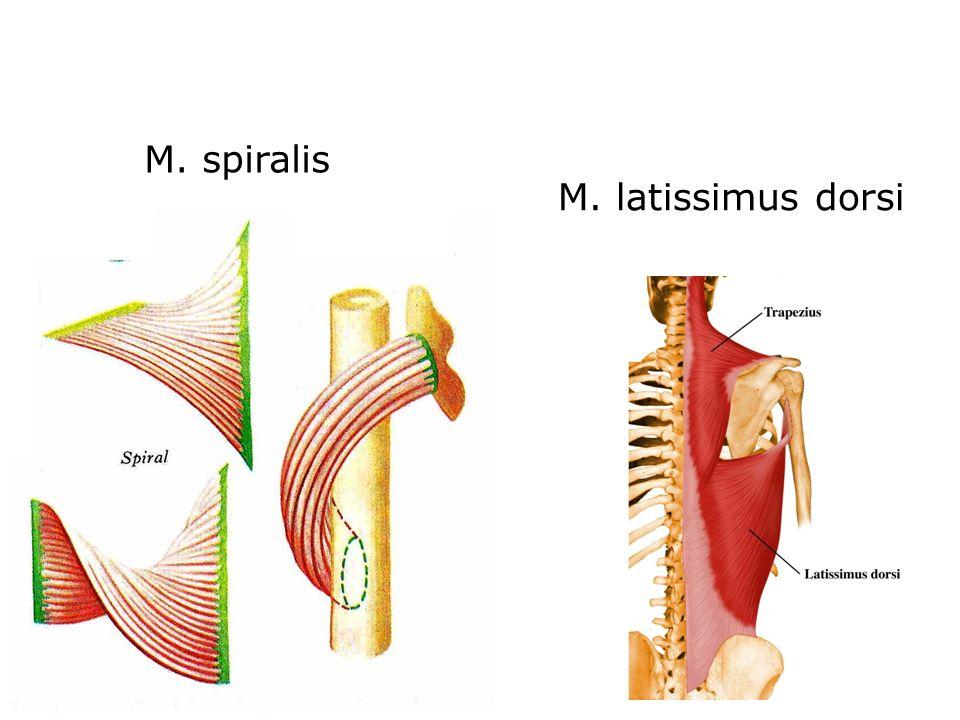 M. latissimus dorsi M. spiralis