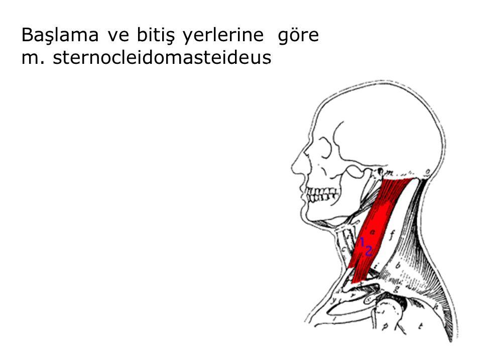 Başlama ve bitiş yerlerine göre m. sternocleidomasteideus