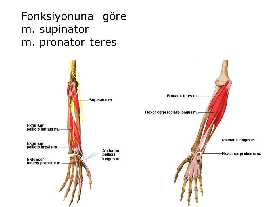 Fonksiyonuna göre m. supinator m. pronator teres