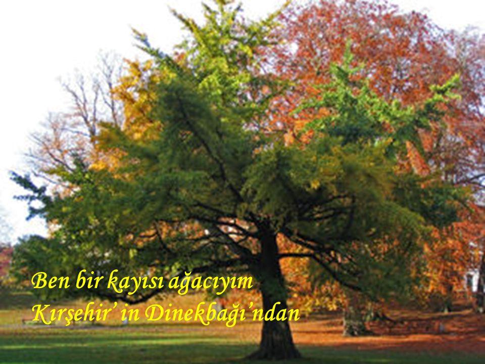 Ben bir kayısı ağacıyım Kırşehir' in Dinekbağı'ndan