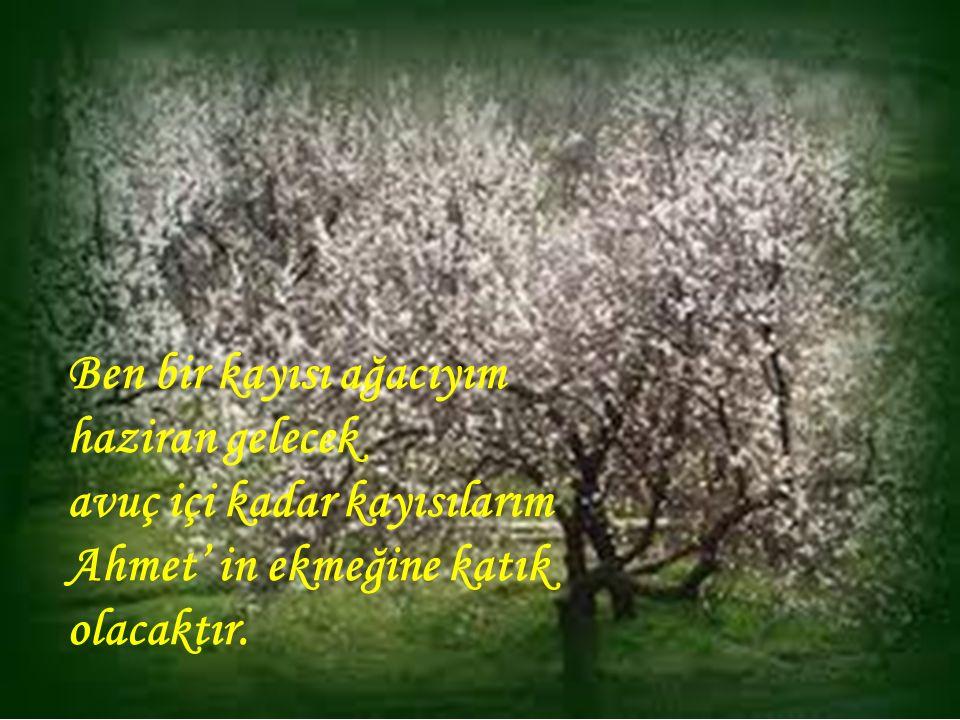 Ben bir kayısı ağacıyım haziran gelecek avuç içi kadar kayısılarım Ahmet' in ekmeğine katık olacaktır.