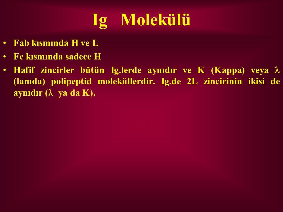 Ig Molekülü Fab kısmında H ve L Fc kısmında sadece H Hafif zincirler bütün Ig.lerde aynıdır ve K (Kappa) veya (lamda) polipeptid moleküllerdir. Ig.de
