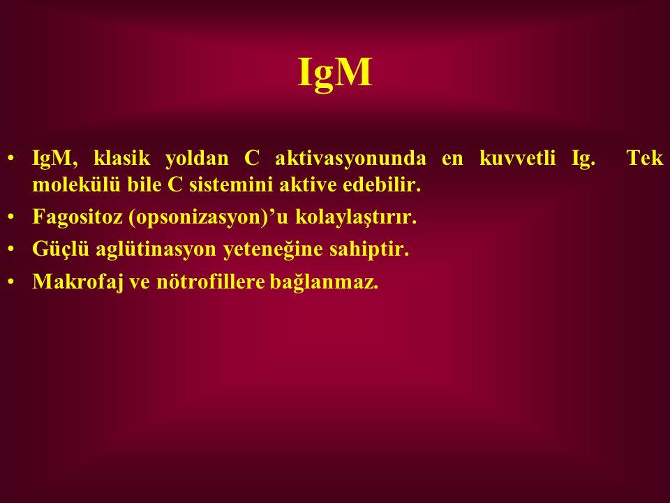 IgM IgM, klasik yoldan C aktivasyonunda en kuvvetli Ig. Tek molekülü bile C sistemini aktive edebilir. Fagositoz (opsonizasyon)'u kolaylaştırır. Güçlü
