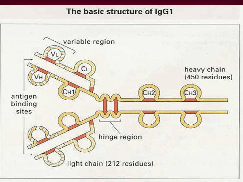IgM Menteşe (hinge) bölgesi yok.Yerine 130 amino asitlik CH 4 kangalı var.