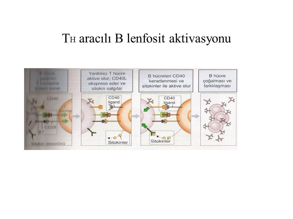 T H aracılı B lenfosit aktivasyonu