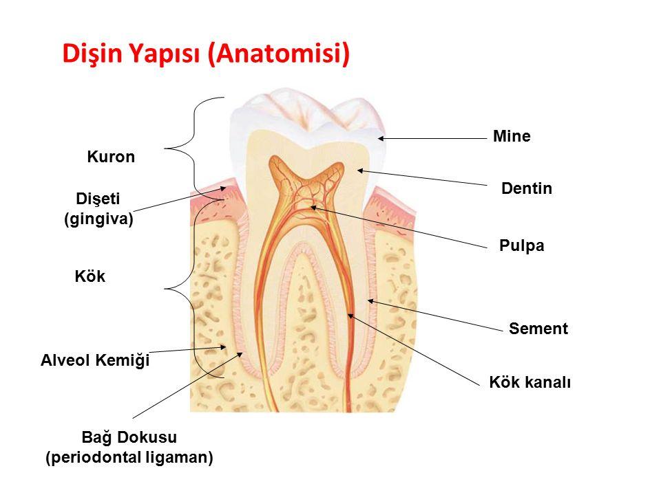 Dişin Yapısı (Anatomisi) Parlak Gülüşler Parlak Gelecekeler Kuron Kök Pulpa Mine Dentin Sement Dişeti (gingiva) Alveol Kemiği Kök kanalı Bağ Dokusu (periodontal ligaman)