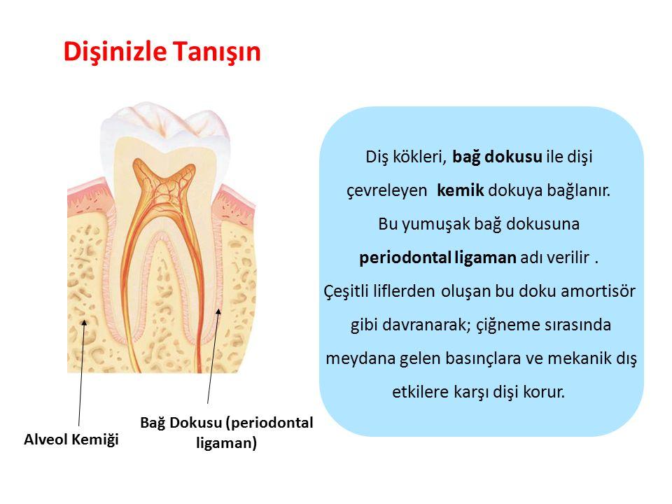 Dişinizle Tanışın Parlak Gülüşler Parlak Gelecekeler Alveol Kemiği Diş kökleri, bağ dokusu ile dişi çevreleyen kemik dokuya bağlanır. Bu yumuşak bağ d