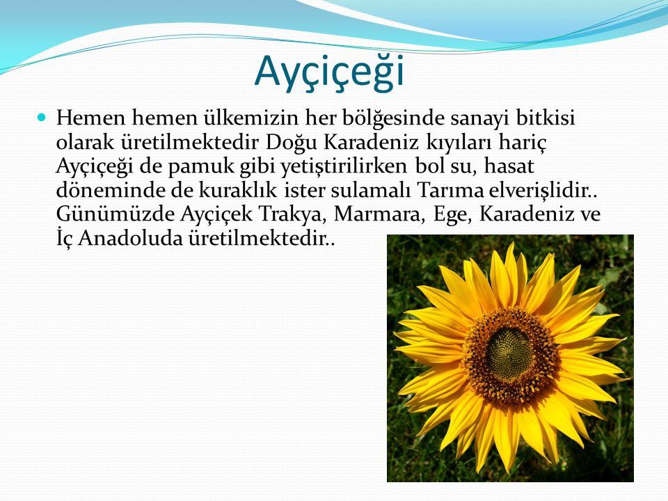 Ayçiçeği Hemen hemen ülkemizin her bölğesinde sanayi bitkisi olarak üretilmektedir Doğu Karadeniz kıyıları hariç Ayçiçeği de pamuk gibi yetiştirilirke