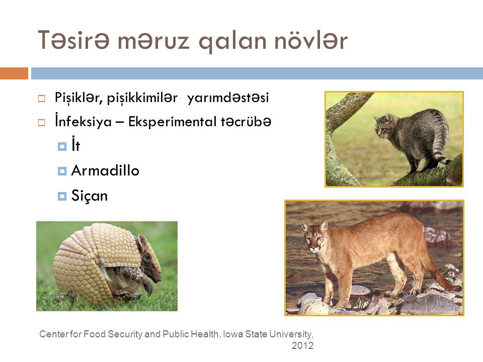 T ə sir ə m ə ruz qalan növl ə r Center for Food Security and Public Health, Iowa State University, 2012  Pişikl ə r, pişikkimil ə r yarımd ə st ə si  İ nfeksiya – Eksperimental t ə crüb ə  İ t  Armadillo  Siçan