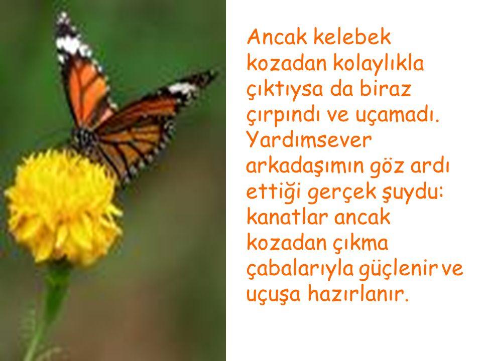 Ancak kelebek kozadan kolaylıkla çıktıysa da biraz çırpındı ve uçamadı. Yardımsever arkadaşımın göz ardı ettiği gerçek şuydu: kanatlar ancak kozadan ç