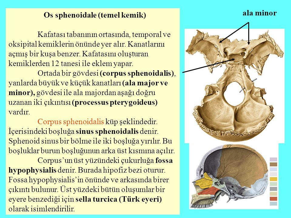 Os sphenoidale (temel kemik) Kafatası tabanının ortasında, temporal ve oksipital kemiklerin önünde yer alır. Kanatlarını açmış bir kuşa benzer. Kafata