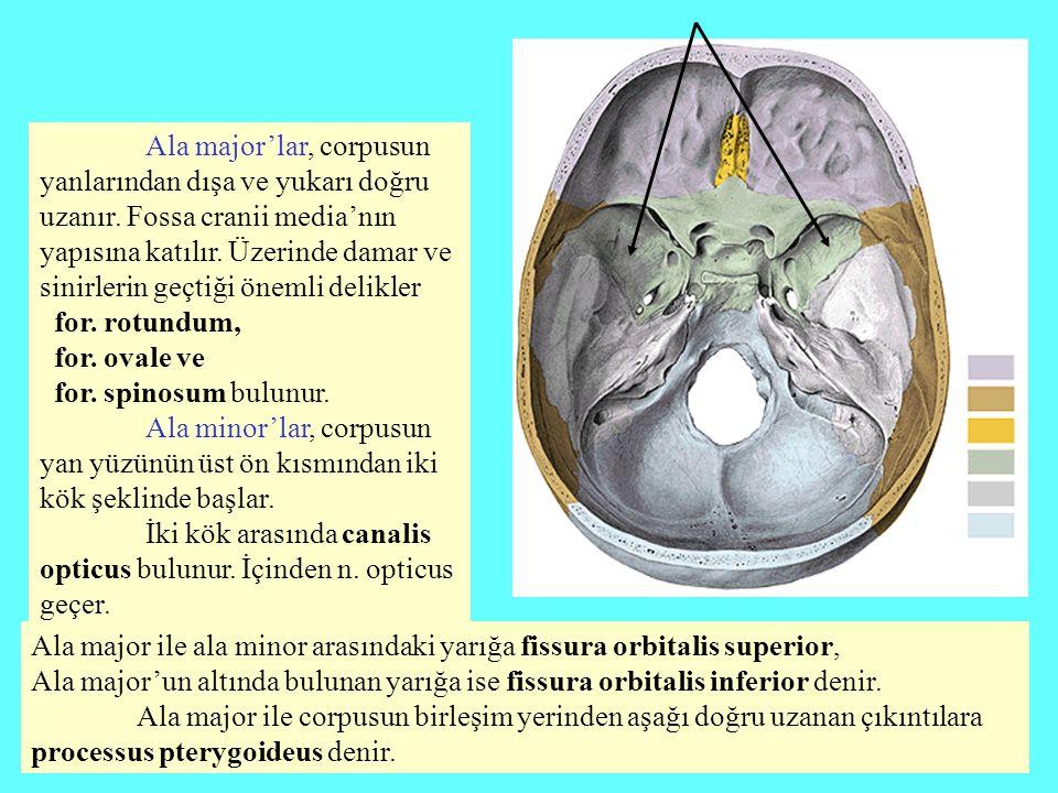 Ala major'lar, corpusun yanlarından dışa ve yukarı doğru uzanır. Fossa cranii media'nın yapısına katılır. Üzerinde damar ve sinirlerin geçtiği önemli