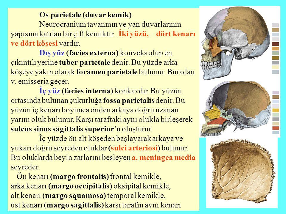 Os parietale (duvar kemik) Neurocranium tavanının ve yan duvarlarının yapısına katılan bir çift kemiktir. İki yüzü, dört kenarı ve dört köşesi vardır.