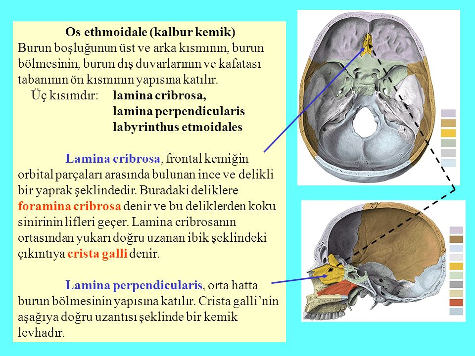 Os ethmoidale (kalbur kemik) Burun boşluğunun üst ve arka kısmının, burun bölmesinin, burun dış duvarlarının ve kafatası tabanının ön kısmının yapısın