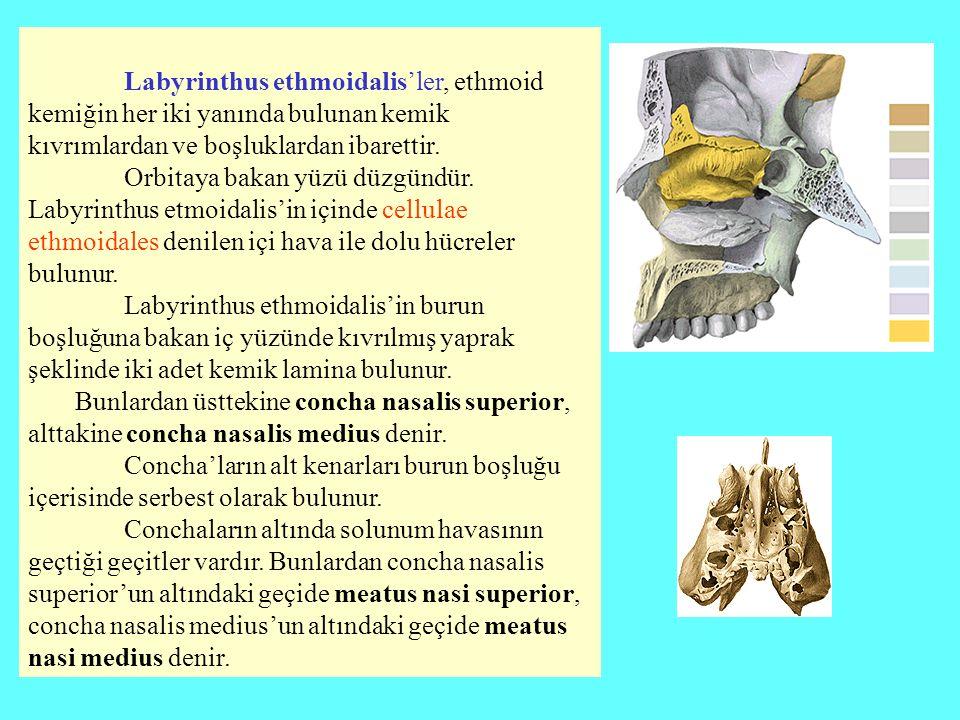 Labyrinthus ethmoidalis'ler, ethmoid kemiğin her iki yanında bulunan kemik kıvrımlardan ve boşluklardan ibarettir. Orbitaya bakan yüzü düzgündür. Laby