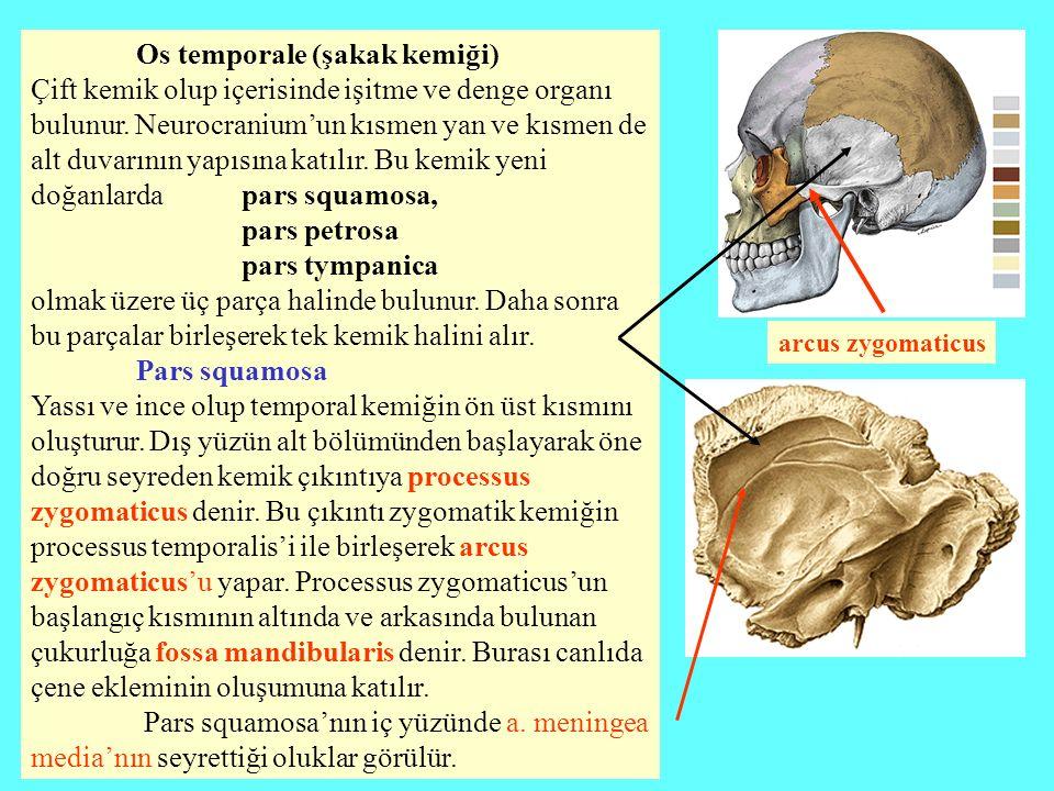 Os temporale (şakak kemiği) Çift kemik olup içerisinde işitme ve denge organı bulunur. Neurocranium'un kısmen yan ve kısmen de alt duvarının yapısına