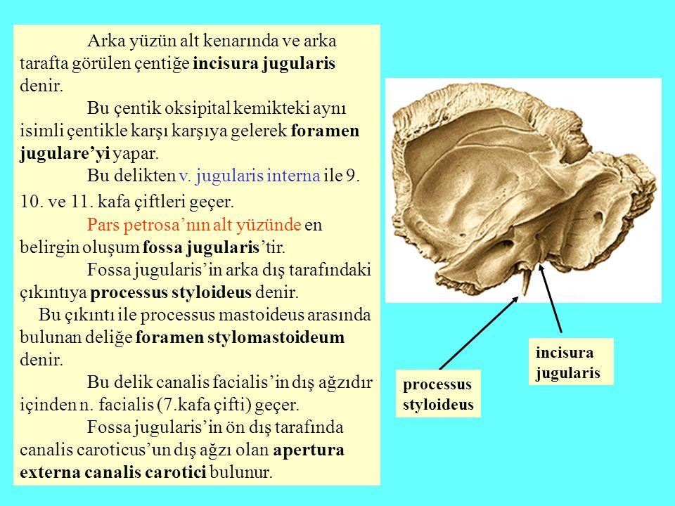 Arka yüzün alt kenarında ve arka tarafta görülen çentiğe incisura jugularis denir. Bu çentik oksipital kemikteki aynı isimli çentikle karşı karşıya ge