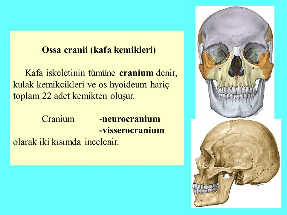 Neurocranium Beyni çevreleyen 4'ü tek 1-os frontale 2-os occipitale 3-os sphenoidale 4-os ethmoidale 2'si çift 5-os parietale ve 6-os temporale) olmak üzere toplam 8 kemikten oluşur.