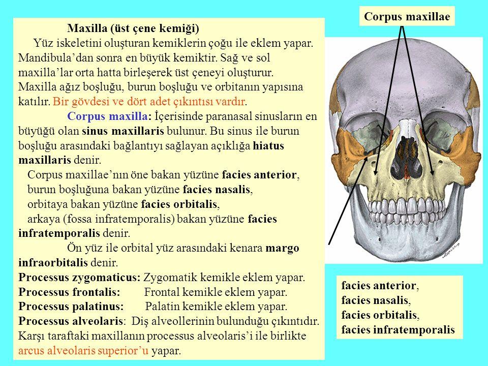 Maxilla (üst çene kemiği) Yüz iskeletini oluşturan kemiklerin çoğu ile eklem yapar. Mandibula'dan sonra en büyük kemiktir. Sağ ve sol maxilla'lar orta
