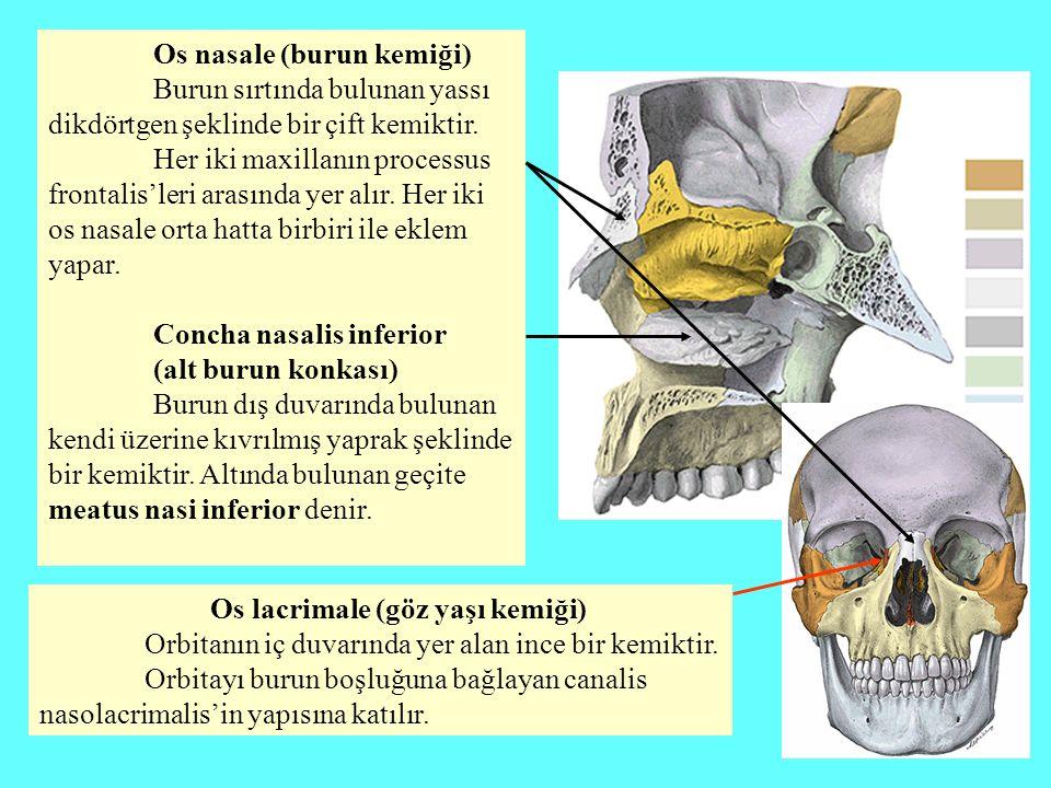 Os nasale (burun kemiği) Burun sırtında bulunan yassı dikdörtgen şeklinde bir çift kemiktir. Her iki maxillanın processus frontalis'leri arasında yer