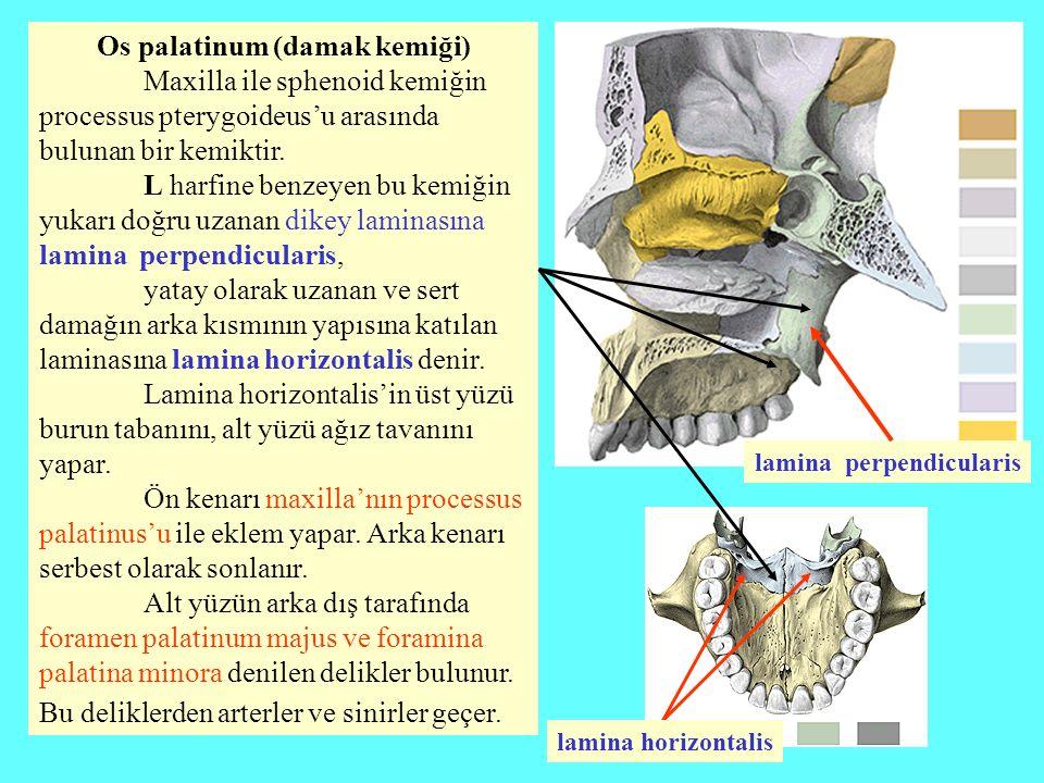 Os palatinum (damak kemiği) Maxilla ile sphenoid kemiğin processus pterygoideus'u arasında bulunan bir kemiktir. L harfine benzeyen bu kemiğin yukarı
