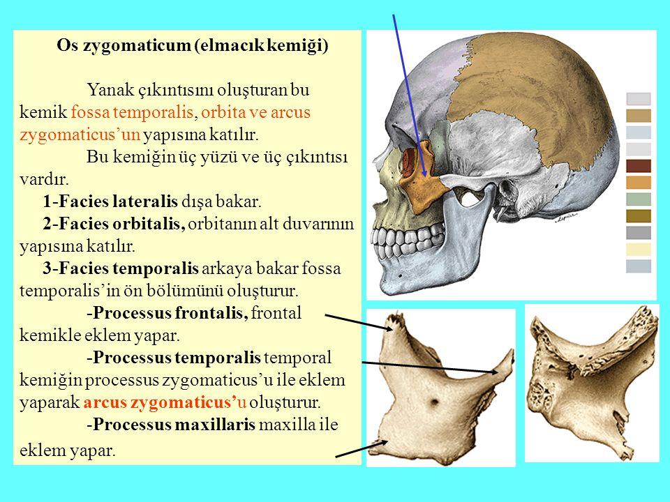 Os zygomaticum (elmacık kemiği) Yanak çıkıntısını oluşturan bu kemik fossa temporalis, orbita ve arcus zygomaticus'un yapısına katılır. Bu kemiğin üç