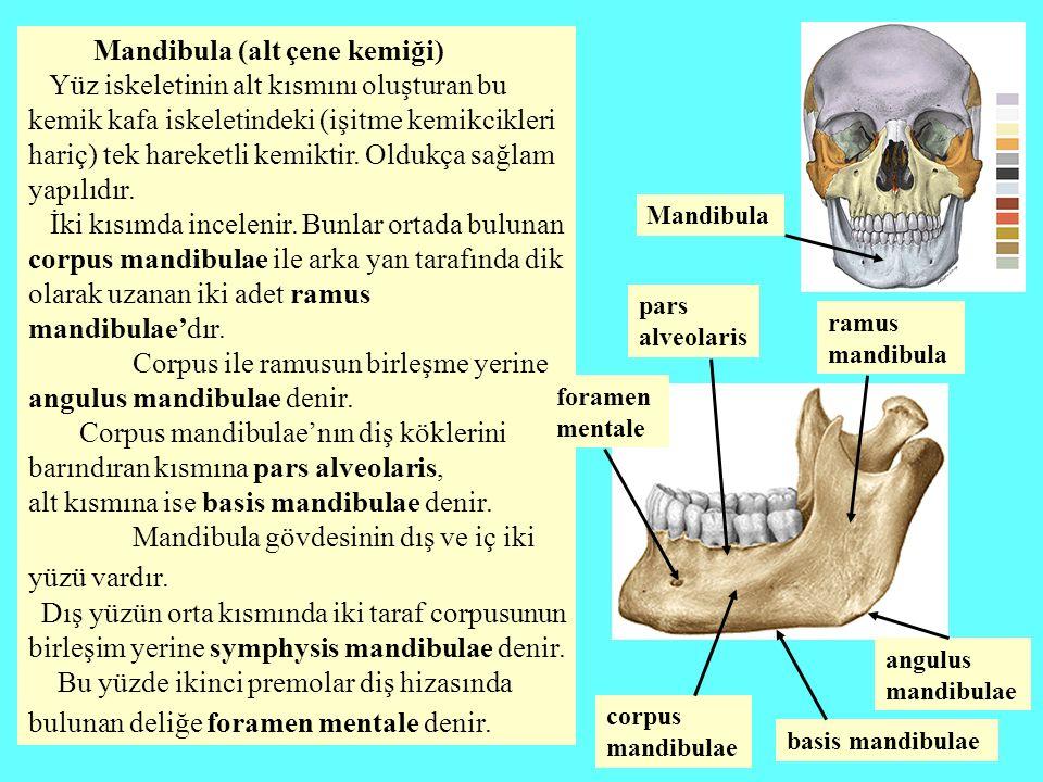 Mandibula (alt çene kemiği) Yüz iskeletinin alt kısmını oluşturan bu kemik kafa iskeletindeki (işitme kemikcikleri hariç) tek hareketli kemiktir. Oldu