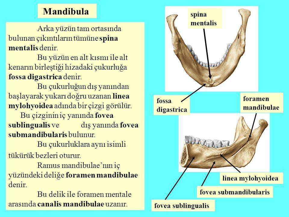Mandibula Arka yüzün tam ortasında bulunan çıkıntıların tümüne spina mentalis denir. Bu yüzün en alt kısmı ile alt kenarın birleştiği hizadaki çukurlu