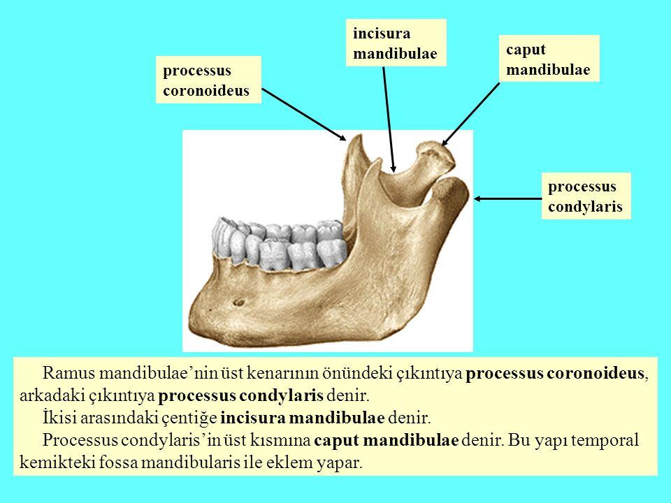 Ramus mandibulae'nin üst kenarının önündeki çıkıntıya processus coronoideus, arkadaki çıkıntıya processus condylaris denir. İkisi arasındaki çentiğe i