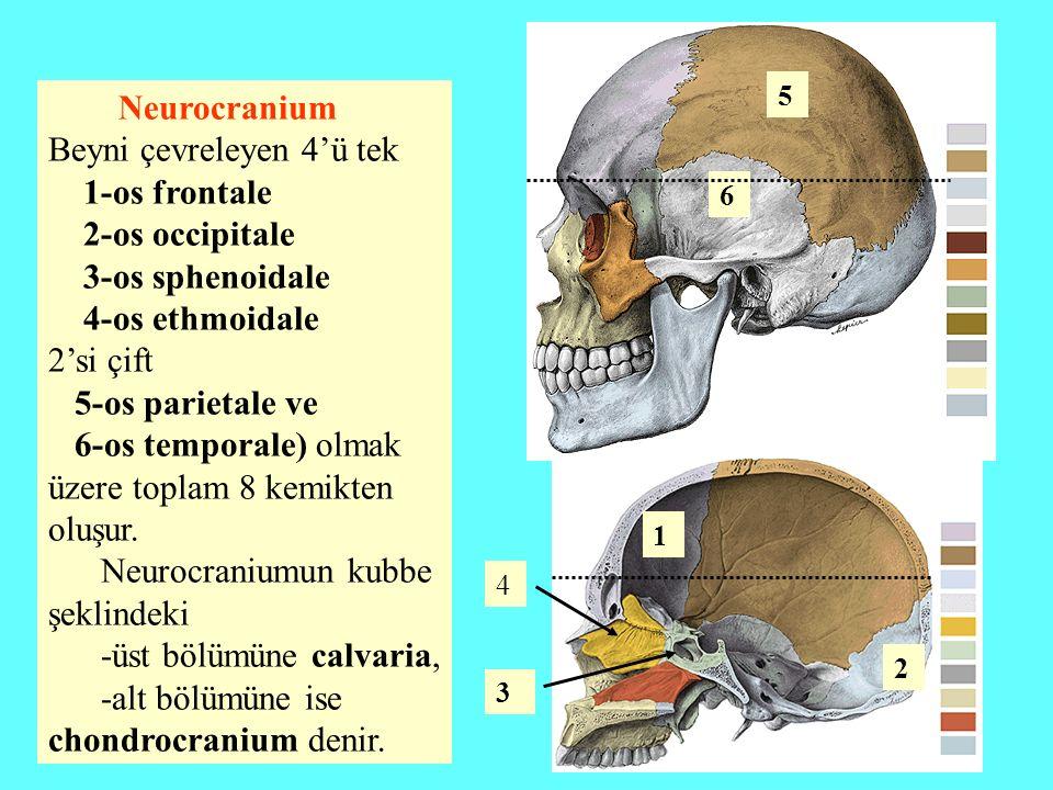 Neurocranium Beyni çevreleyen 4'ü tek 1-os frontale 2-os occipitale 3-os sphenoidale 4-os ethmoidale 2'si çift 5-os parietale ve 6-os temporale) olmak
