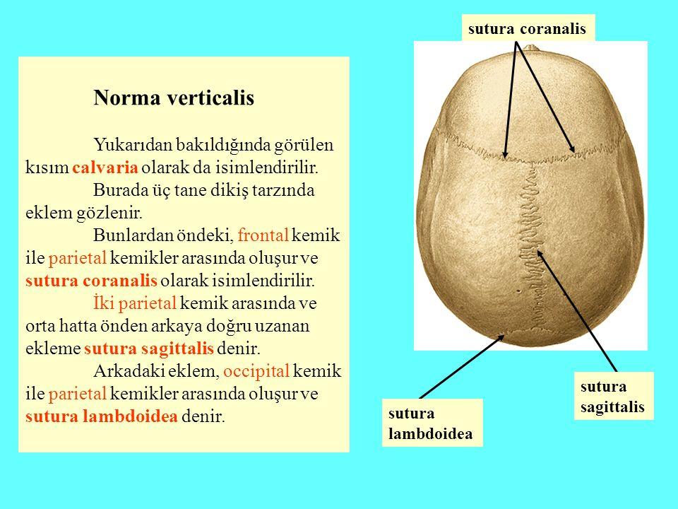 Norma verticalis Yukarıdan bakıldığında görülen kısım calvaria olarak da isimlendirilir. Burada üç tane dikiş tarzında eklem gözlenir. Bunlardan öndek