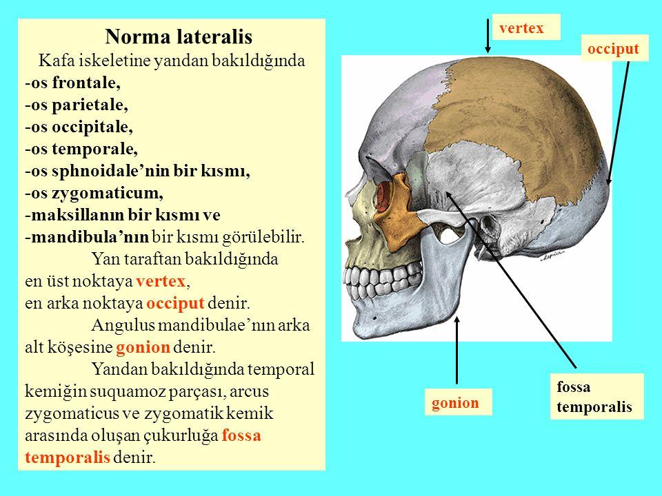 Norma lateralis Kafa iskeletine yandan bakıldığında -os frontale, -os parietale, -os occipitale, -os temporale, -os sphnoidale'nin bir kısmı, -os zygo