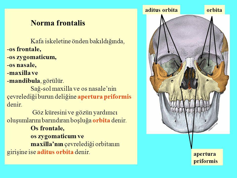 Norma frontalis Kafa iskeletine önden bakıldığında, -os frontale, -os zygomaticum, -os nasale, -maxilla ve -mandibula, görülür. Sağ-sol maxilla ve os