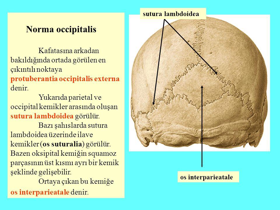 Norma occipitalis Kafatasına arkadan bakıldığında ortada görülen en çıkıntılı noktaya protuberantia occipitalis externa denir. Yukarıda parietal ve oc