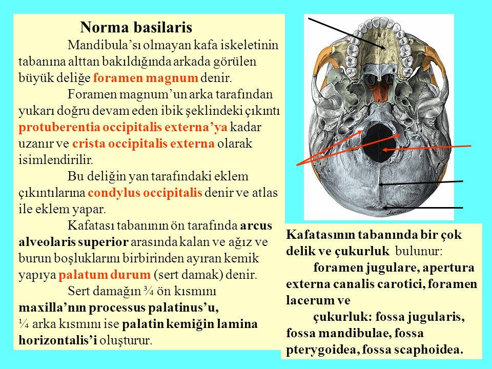 Norma basilaris Mandibula'sı olmayan kafa iskeletinin tabanına alttan bakıldığında arkada görülen büyük deliğe foramen magnum denir. Foramen magnum'un