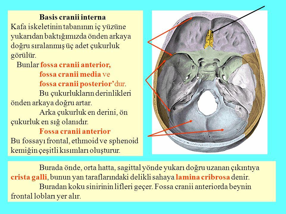 Basis cranii interna Kafa iskeletinin tabanının iç yüzüne yukarıdan baktığımızda önden arkaya doğru sıralanmış üç adet çukurluk görülür. Bunlar fossa