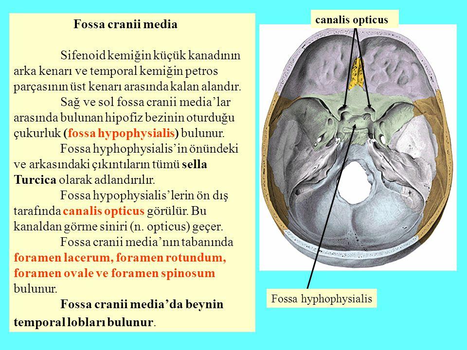 Fossa cranii media Sifenoid kemiğin küçük kanadının arka kenarı ve temporal kemiğin petros parçasının üst kenarı arasında kalan alandır. Sağ ve sol fo