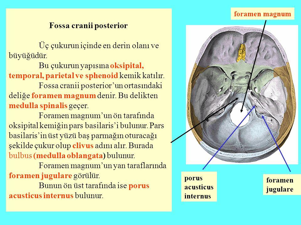 Fossa cranii posterior Üç çukurun içinde en derin olanı ve büyüğüdür. Bu çukurun yapısına oksipital, temporal, parietal ve sphenoid kemik katılır. Fos